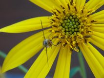 Wasp on yellow flower Royalty Free Stock Image