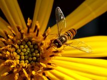 Wasp on yellow flower Stock Images