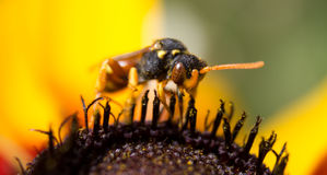 A wasp on yellow flower Stock Image