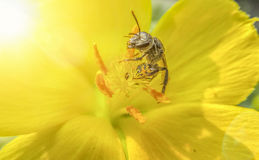 Wasp on yellow flower. In the sun glow Royalty Free Stock Photo