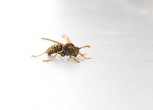 Wasp or Yellowjacket. On a white background Royalty Free Stock Photography