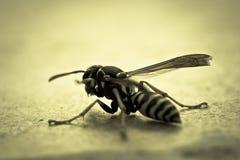 Wasp Yellowjacket Royaltyfri Fotografi
