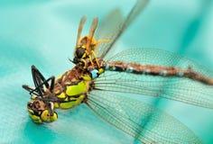 Waspen äter sländan Arkivfoto