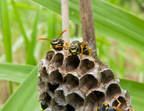 Wasps 2. A close-up of the wasps on comb. Russian Far East, Primorye Stock Photos