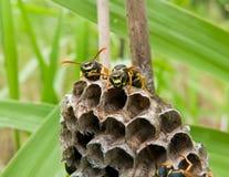 Wasps 2 Stock Photos