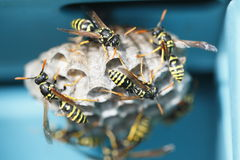 Free Wasps Royalty Free Stock Image - 26251826