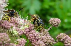 wasps Arkivbild