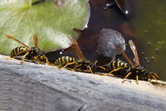 wasps Royaltyfri Foto