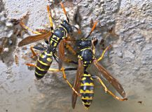 Wasps Stock Images