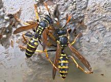 wasps Arkivbilder