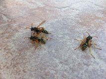 wasps Royaltyfri Fotografi