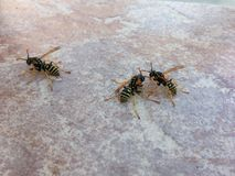 wasps Fotografering för Bildbyråer