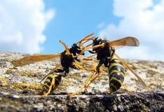 wasps Arkivfoto