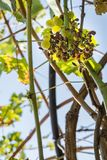 Wasps and bees eating grapes Royalty Free Stock Photography