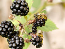 Wasps on Berries Stock Photography