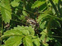 wasps Stock Image