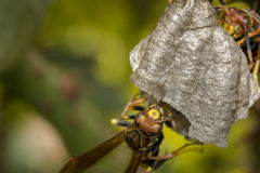 Wasps building a nest on a tree royalty free stock images