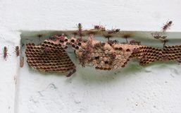 Wasps building a nest . stock photo