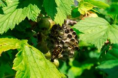 Wasps builds the hive. At summer garden Royalty Free Stock Photos