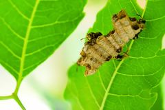 Wasps built their nest on the leaves. Wasp helps to clean the nest and protect its nest from the trellis that will destroy its nest royalty free stock photo