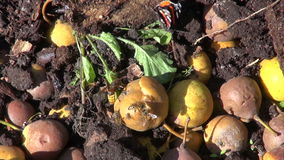 Wasps and butterfly eating pears in compost heap. Wasps and butterfly eating autumn pears in compost heap stock video footage