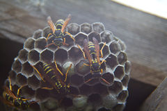 Wasps Royalty Free Stock Photos