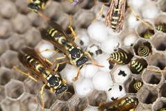 wasps close Fotografering för Bildbyråer