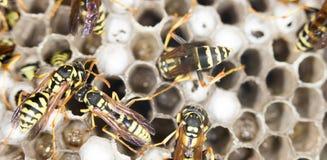 Wasps. close Royalty Free Stock Photo