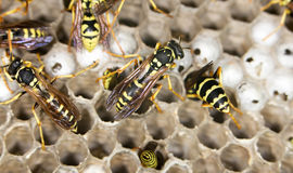 Wasps. close Royalty Free Stock Images