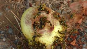 Wasps collect apple fruit sweet juices on the ground stock footage