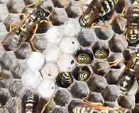 Wasps on comb. In the park in nature Royalty Free Stock Photography