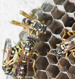 Wasps on comb. In the park in nature Stock Photography