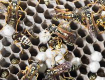 Wasps on comb. In the park in nature Stock Images