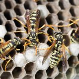 Wasps on comb. In the park in nature Stock Photo
