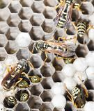 Wasps on comb. In the park in nature Royalty Free Stock Photos