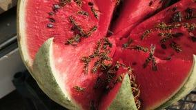 Wasps eat watermelon. Cut watermelon stock video