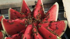 Wasps eat watermelon. Cut watermelon stock footage