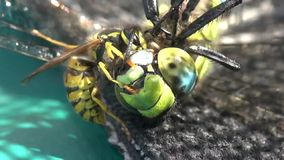Wasps eating a dragonfly stock video