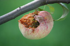 Wasps eating apple on the tree Royalty Free Stock Photo
