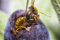Wasps eating a plum. European paper wasps eating a plum fruit in close up Stock Photo