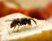Wasps eating sweet food Royalty Free Stock Photo