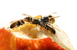Wasps eating sweet fruit Stock Photos
