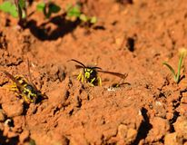 Wasps at the entrance of the nest Stock Images