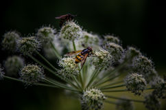 Wasps on flowers. A close up of wasps perched on flowers Royalty Free Stock Images