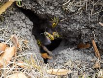 Wasps fly into their nest. Mink with an aspen nest. Underground. Vespula vulgaris. Wasps fly into their nest. Mink with an aspen nest. Underground wasps stock photo