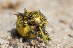 Wasps on the fruits Stock Photo