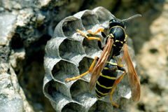 Wasps. A Wasps has returned to the nest Royalty Free Stock Image