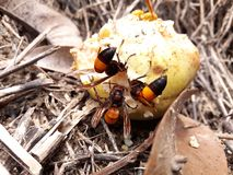 Wasps have come to collect their food from ripe fruit stock image