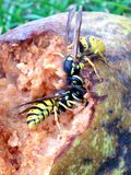 Wasps head to head Stock Image