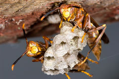 Wasps on hive Royalty Free Stock Photo
